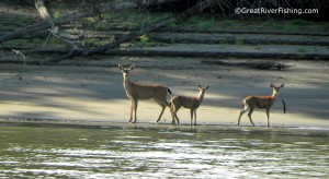 Deer on the Ftaser River