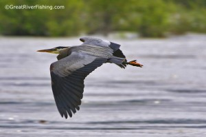 Fraser River Wildlife