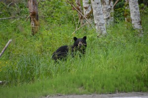 pitt river black bear